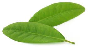 Листья гвоздичного дерева Стоковые Изображения