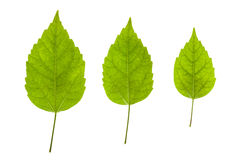 Листья гибискуса Стоковое Фото