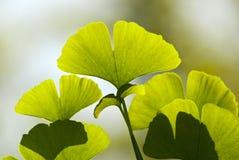 Листья гинкго Стоковые Фото