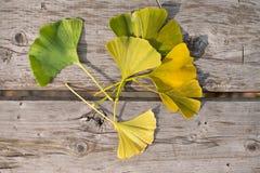 Листья гинкго Стоковое Изображение