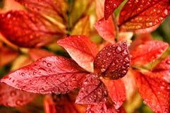 Листья голубики Стоковые Изображения RF