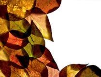 листья граници золы Стоковые Фото