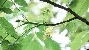 Листья грецкого ореха во время дождя сток-видео