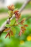 Листья грецкого ореха Стоковые Изображения