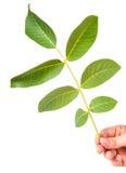 Листья грецкого ореха Стоковое Фото