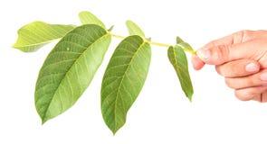 Листья грецкого ореха Стоковые Изображения RF