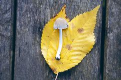 Листья гриба и желтого цвета на таблице Стоковое Фото