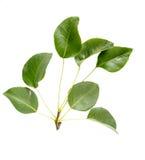 Листья грушевого дерев дерева Стоковые Изображения