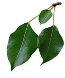 Листья груши Стоковые Фотографии RF
