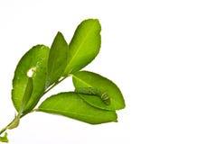 листья гусеницы зеленые Стоковое Фото