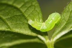 листья гусеницы Стоковое Изображение RF