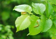 листья гусеницы стоковые фотографии rf