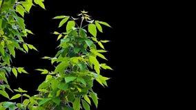 Листья дерева альфы сток-видео