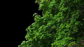 Листья дерева альфы акции видеоматериалы