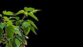 Листья дерева альфы видеоматериал