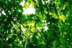 Листья дерева в природе Стоковое Изображение