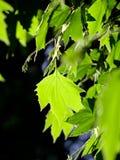 Листья дерева в природе Стоковые Изображения