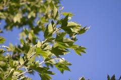 Листья дерева в природе Стоковые Фотографии RF