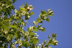 Листья дерева в природе Стоковая Фотография