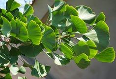 Листья дерева гинкго в лете Стоковые Фотографии RF