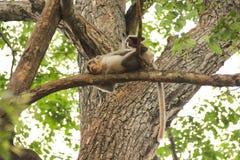Листья дерева живой природы обезьяны Стоковое Фото