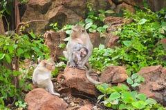 Листья дерева живой природы обезьяны Стоковое Изображение RF