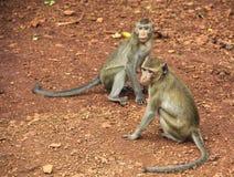 Листья дерева живой природы обезьяны Стоковые Фотографии RF
