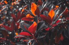 Листья дерева магнолии закрывают вверх по ботанической предпосылке Стоковое фото RF