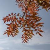 Листья дерева осени против голубого неба Стоковые Фото