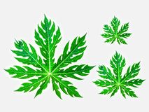 Листья дерева папапайи имеют различные размеры стоковая фотография