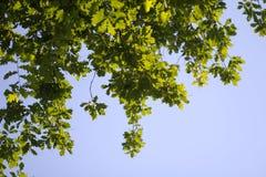 Листья дерева против голубого неба в природе Стоковое Изображение RF
