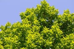 Листья дерева против голубого неба в природе Стоковое Изображение