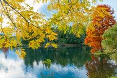 Листья дерева черного грецкого ореха яркой осени желтые стоковые изображения