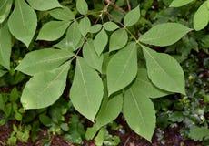 Листья дерева hickory shagbark стоковая фотография rf