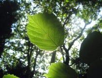листья детали Стоковая Фотография RF