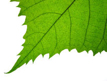 листья детали Стоковые Фотографии RF