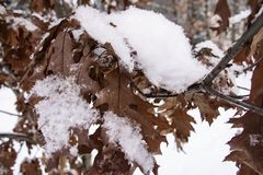 Листья дуба Брауна предусматриванные с концом-вверх изморози стоковые фотографии rf