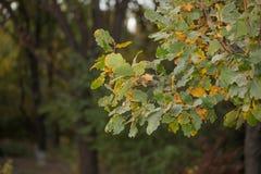 Листья дуба в осени outdoors Стоковое Фото