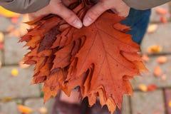 Листья дуба в руках ` s женщины стоковые изображения rf