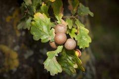 Листья дуба с раздражают Стоковое Фото