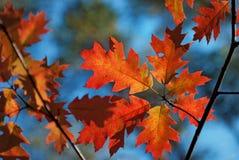 Листья дуба стоковая фотография