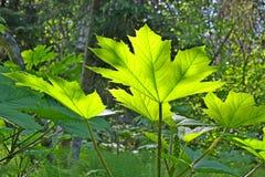 листья дьяволов клуба накаляя Стоковая Фотография