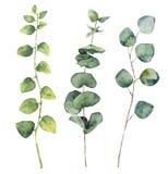 Листья евкалипта акварели круглые и ветви хворостины Стоковые Изображения