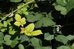 Листья ежевичника стоковое изображение