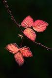 Листья ежевичника стоковые фотографии rf