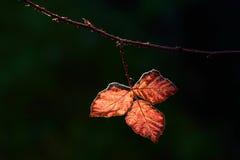 Листья ежевичника стоковое фото