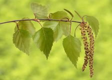 Листья дерева березы стоковое фото