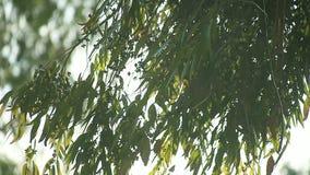 Листья дерева евкалипта акции видеоматериалы