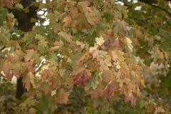 Листья дерева клена изменяя цвета Стоковая Фотография