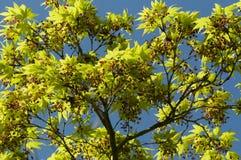 Листья дерева клена новые и бутоны цветка Стоковое Изображение RF